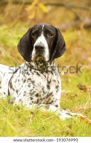 portrait of a auvergne pointing dog - stock photo