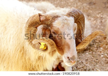 Portrait of a Awassi sheep - stock photo