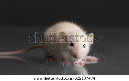 Portrait of a baby rat on glass - stock photo