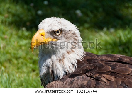 Portrait of a bald eagle (haliaeetus leucocephalus) - stock photo