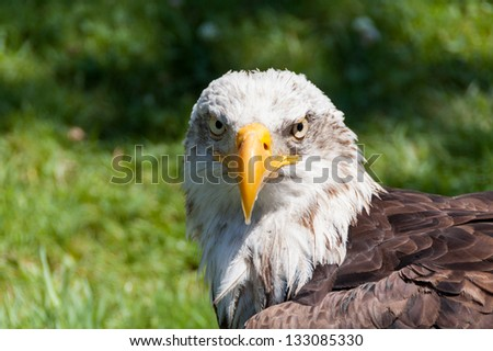 Portrait of a bald eagle (haliaeetus leucocephalus)