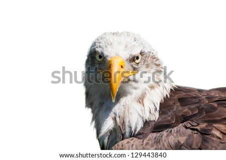 Portrait of a bald eagle (haliaeetus leucocephalus) isolated on white background - stock photo