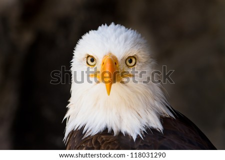 Portrait of a bald eagle (lat. haliaeetus leucocephalus) staring directly at YOU, focus on eye - stock photo