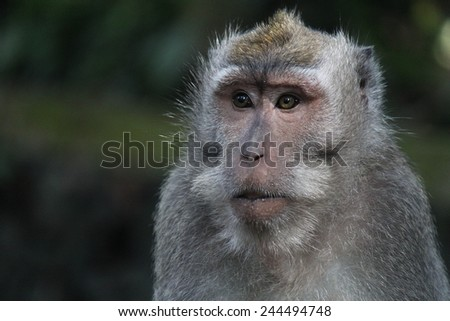 Portrait of a Balinese Macaque - stock photo