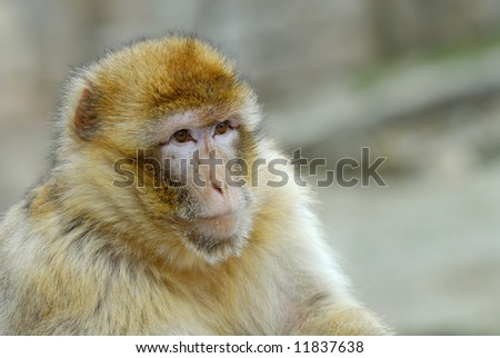 portrait of a barbary ape