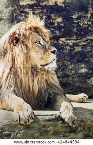 Portrait of a Barbary lion (Panthera leo leo). Animal scene. Critically endangered species. Vertical scene. Big cat. - stock photo