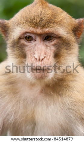 Portrait of a Barbary Macaque monkey