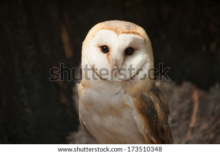 Portrait of a Barn Owl in a sanctuary in the Piedmont of North Carolina. - stock photo
