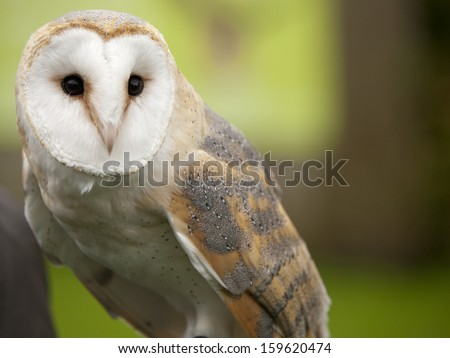Portrait of a barn owl (Tyto alba) - stock photo