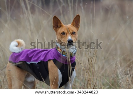 Portrait of a Basenji dog in clothes. Winter, cold day. Close-up