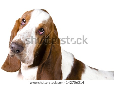Portrait of a Basset Hound (isolated on white) - stock photo