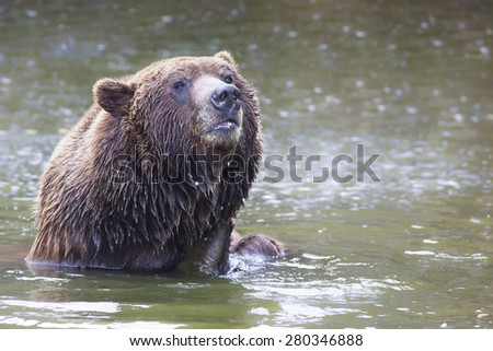 portrait of a bathing male brown bear in a lake