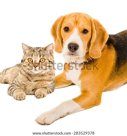 Portrait of a beagle and cat Scottish Straight together, closeup isolated on white background - stock photo