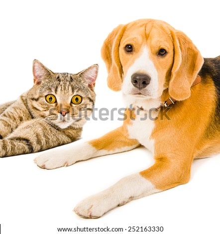 Portrait of a beagle dog and cat Scottish Straight lying together isolated on white background - stock photo