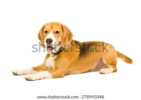 Portrait of a beagle dog lying isolated on white background - stock photo