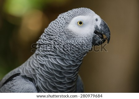 Portrait of a beautiful African Gray parrot bird - stock photo