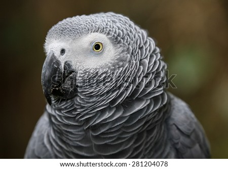 Portrait of a beautiful African Gray parrot bird - stock photo