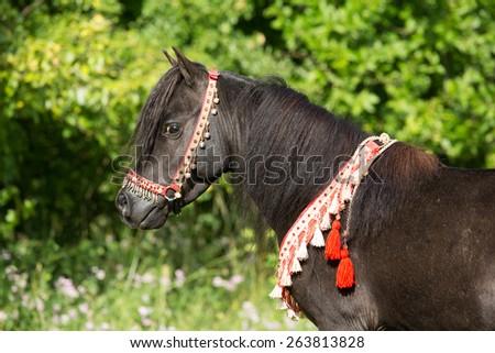 Portrait of a beautiful American Miniature Horse stallion - stock photo