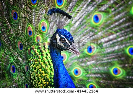Portrait of a beautiful and colorful Blue Ribbon Peacock in full feather while it was trying to attract the attention of a nearby female. - stock photo