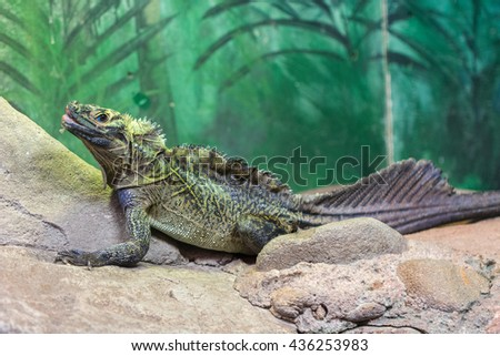 portrait of a beautiful and old Rhinoceros iguana