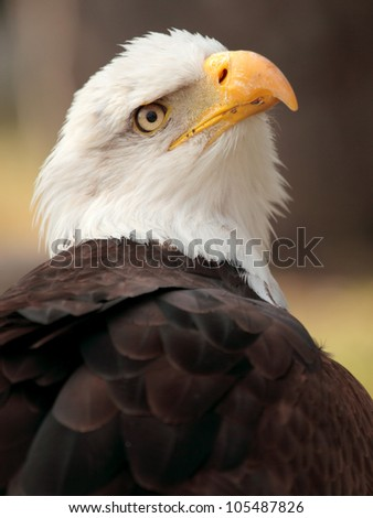 portrait of a beautiful bald eagle