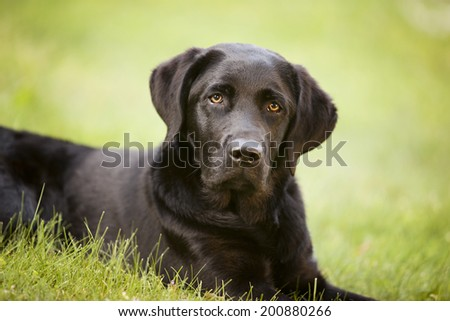 Portrait of a beautiful black lab puppy lying in the grass.