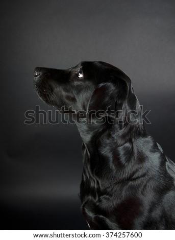 Portrait of a beautiful black Labrador Retriever (on a black background) - stock photo
