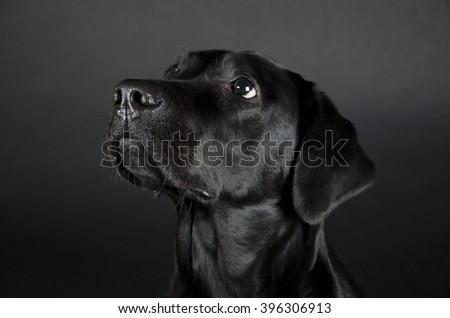 Portrait of a beautiful black Labrador Retriever (on a black background), selective focus on the nose