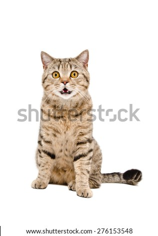 Portrait of a beautiful cat Scottish Straight sitting isolated on white background - stock photo