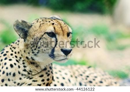 portrait of a beautiful Cheetah - stock photo