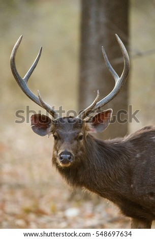 Portrait of a beautiful deer with antlers in the wild. India. National Park. An excellent illustration.