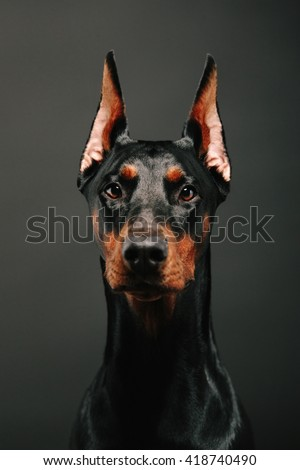 Portrait of a beautiful Doberman Pinscher. Studio headshot. - stock photo