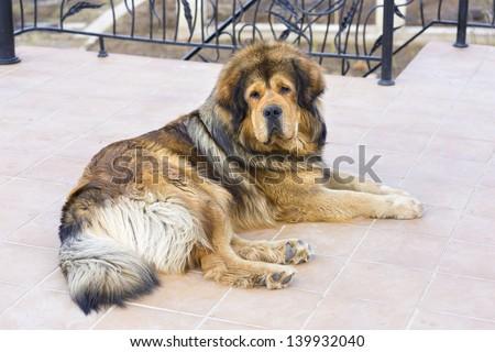 Portrait of a beautiful dog breed Tibetan Mastiff - stock photo