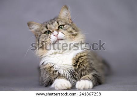 portrait of a beautiful fluffy cute cat - stock photo