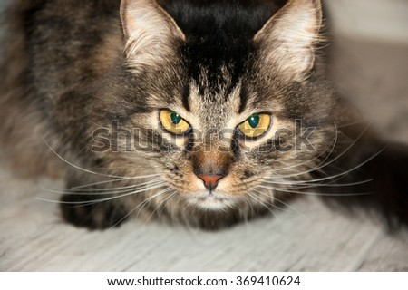 Portrait of a beautiful fluffy lying cat - stock photo