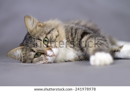 Portrait of a beautiful fluffy lying sleepy  cat  - stock photo