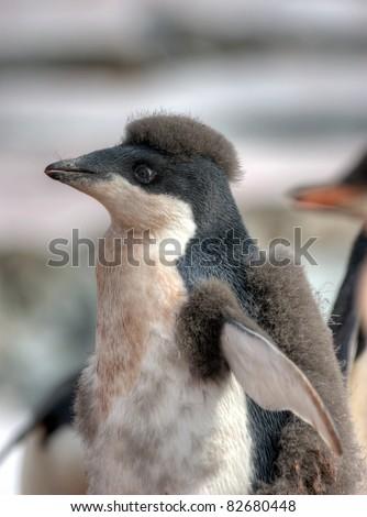 portrait of a beautiful funny penguin adele, Antarctica - stock photo