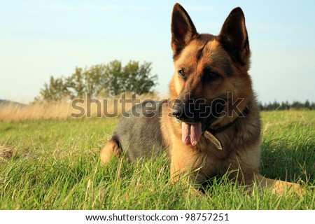 Portrait of a beautiful german shepherd or alsatian dog lying in the grass  and observation. - stock photo