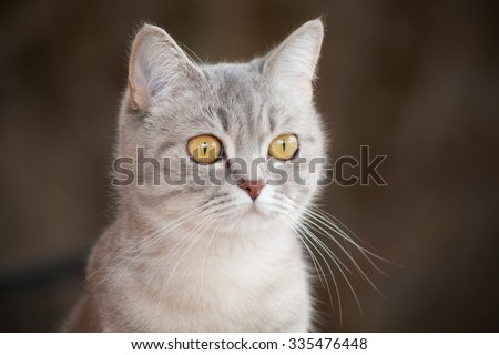 portrait of a beautiful gray striped cat