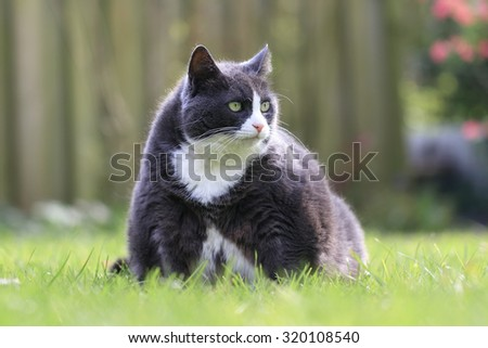 Portrait of a beautiful hungry obese kitty cat in the garden in spring, looking extremely hungry - stock photo