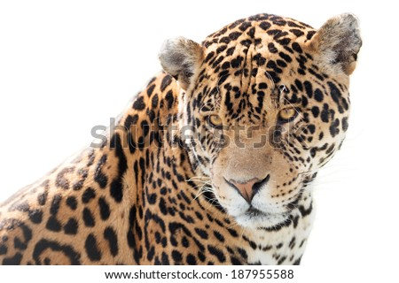 Portrait of a beautiful jaguar. - stock photo