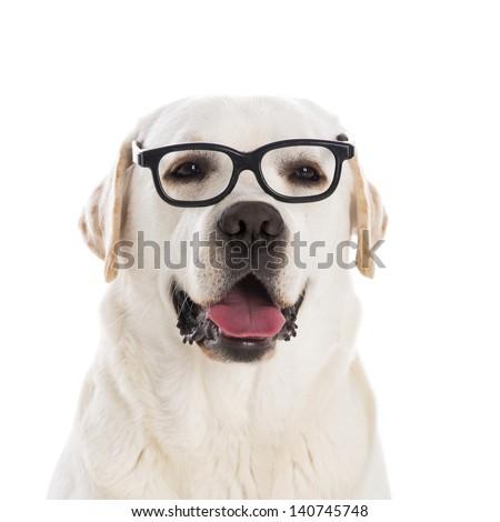 Portrait of a beautiful labrador retriever wearing glasses - stock photo