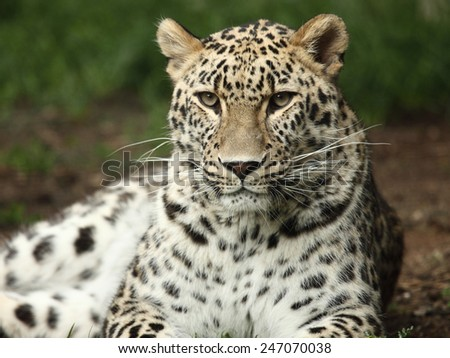 portrait of a beautiful leopard - stock photo