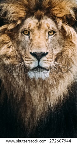 Portrait of a Beautiful Lion - stock photo