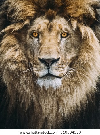 Portrait of a Beautiful Lion
