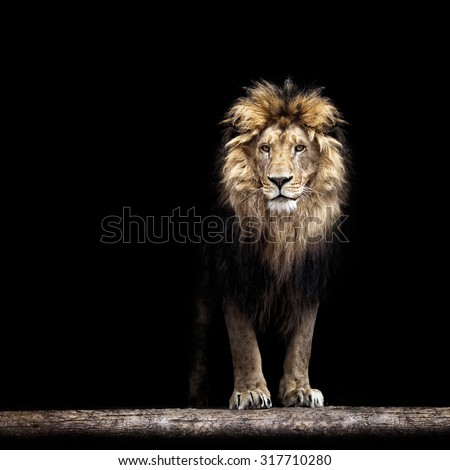 Portrait of a Beautiful lion, in the dark - stock photo