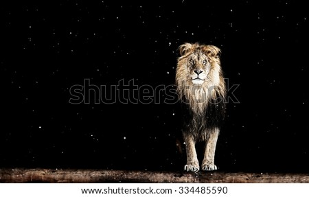 Portrait of a Beautiful lion, lion on black background and snow - stock photo