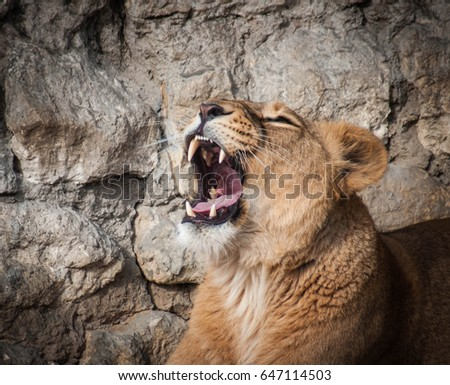 Portrait of a beautiful lion relaxing in the sun yawning