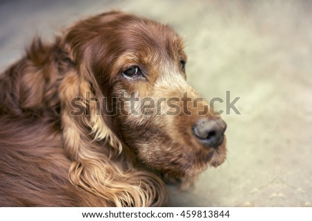 Portrait of a beautiful old Irish Setter dog - stock photo