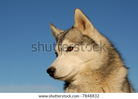 portrait of a beautiful purebred siberian husky on a blue sky